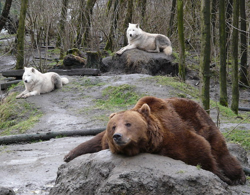 無料写真素材, 動物 , 熊・クマ, 狼・オオカミ