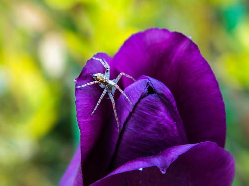 Tulip Spider