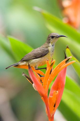 female Purple or Olive-backed Sunbird