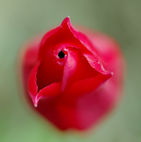 Red Tulip from Top by Violet Brown