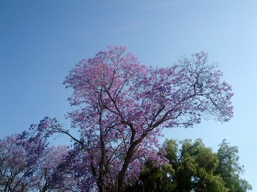 purple trees in Sacramento, California