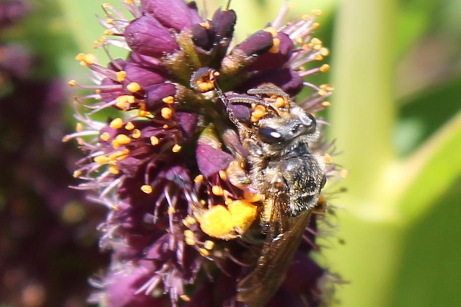 Andrenid species (Andrenidae)