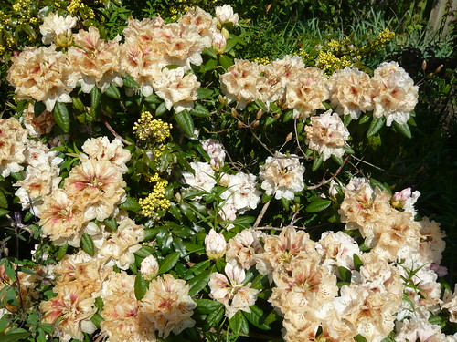 Frost damaged Rhododendron