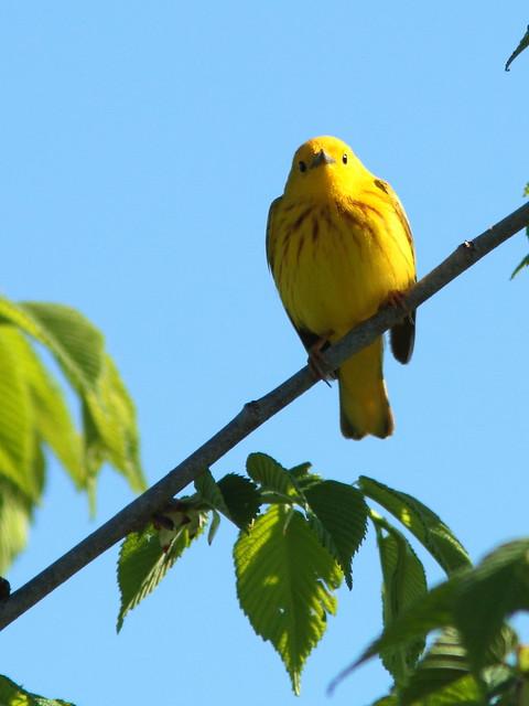 Yellow Warbler 2-20120510