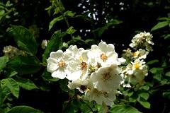 blossom, shrub, flower, branch, plant, rosa rubiginosa, wildflower, flora, produce, rosa multiflora, rosa pimpinellifolia,