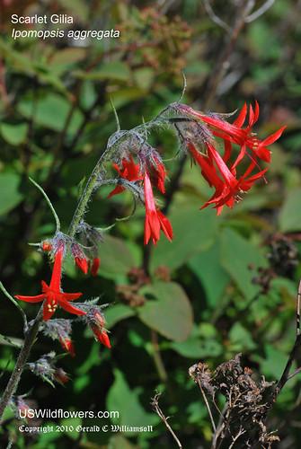 Scarlet Gilia - Ipomopsis aggregata