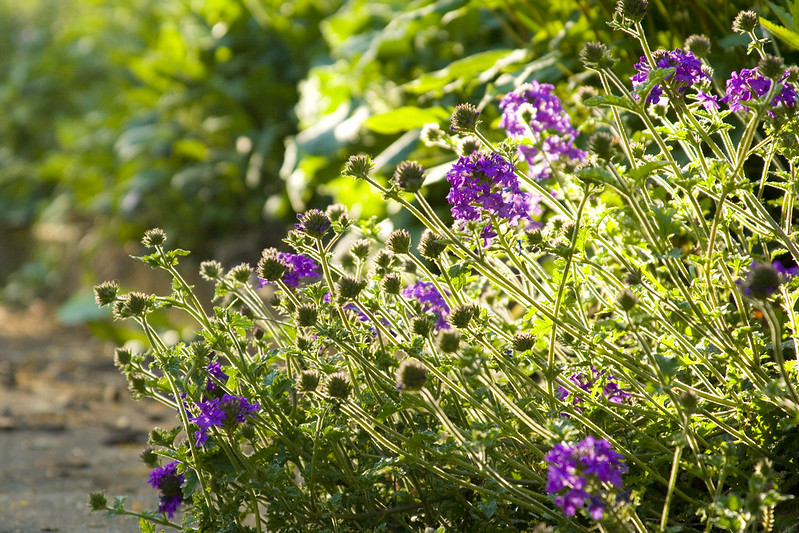 Verbena Homstead Purple