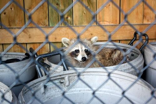raccoon-garbage-can