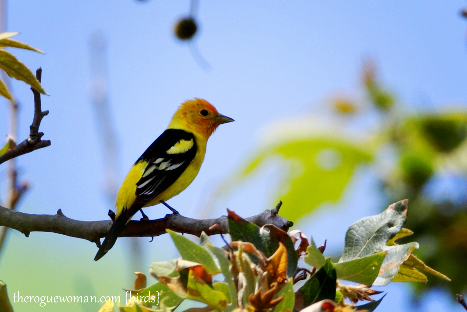 050912_westernTanager01