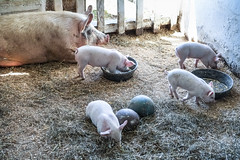 Baby Animals at Hancock Shaker Village - Pittsfield, MA - 2012, Apr - 08.jpg by sebastien.barre