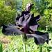 Iridaceae 鳶尾科