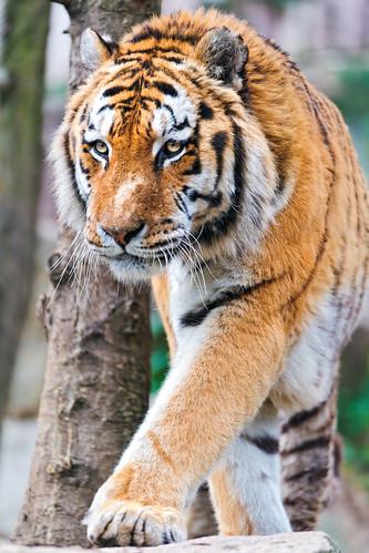 [フリー画像素材] 動物 1, 虎・トラ ID:201205211000