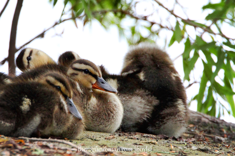 051412_18kenMallory_ducklings