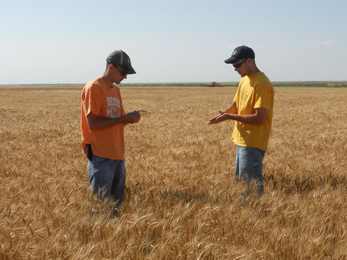 Checking out the wheat