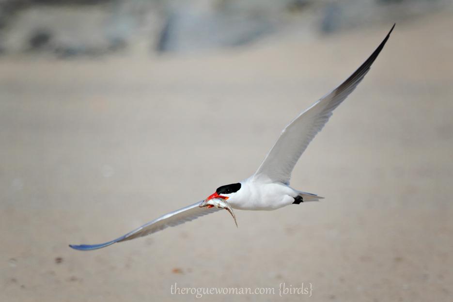 051912_bird_caspianTern02