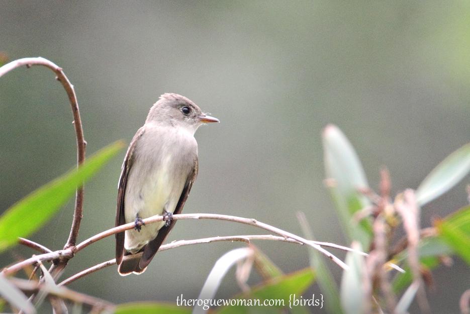 052212_bird_oliveSidedFlycatcher01