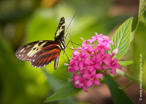 Tarricina Longwing Butterfly
