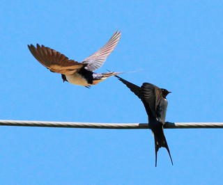 Swallows apparently not yet quite ready to mate