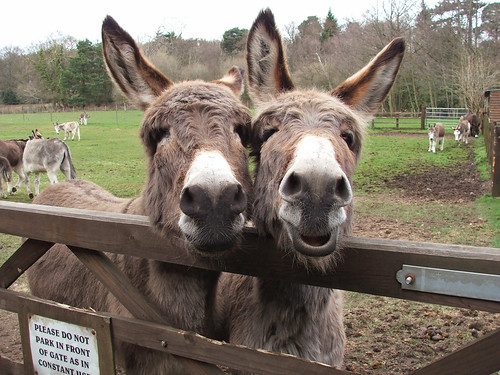 Bob and Lob. Photo by The Donkey Sanctuary