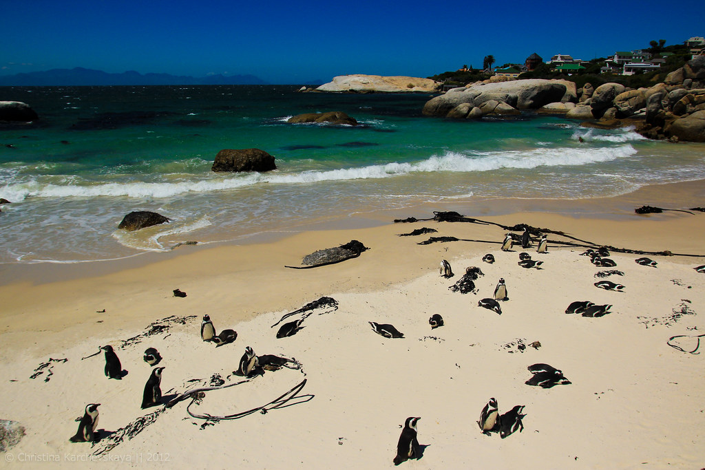 African Penguins! [10]