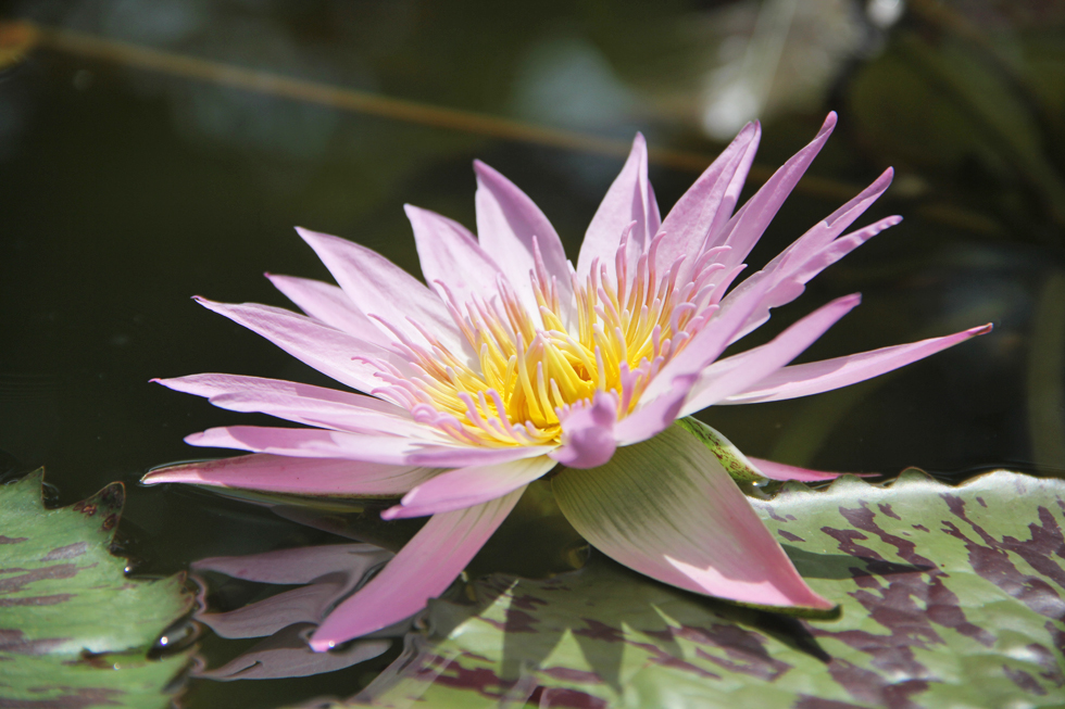 A blooming lotus...