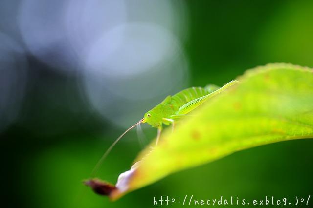 a young grasshopper...
