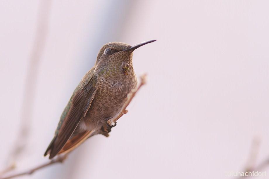 immature Anna's Hummingbird 053112-2