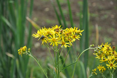 Jacobaea paludosa (sin Senecio palustre)