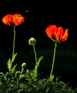 Poppy Blossoms and Bud