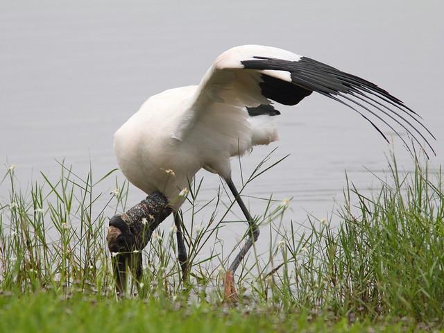 Wood Stork 20120606