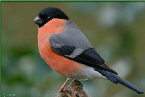 A beautiful Bullfinch! by Lionne (♥‿♥)