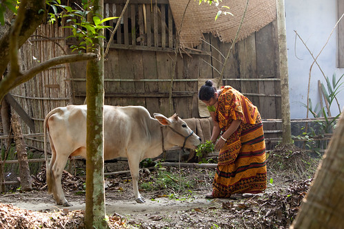 Banalata Das, a shrimp farmer feds her cow at the family home. Khulna, Bangladesh. Photo by Mike Lusmore, 2012
