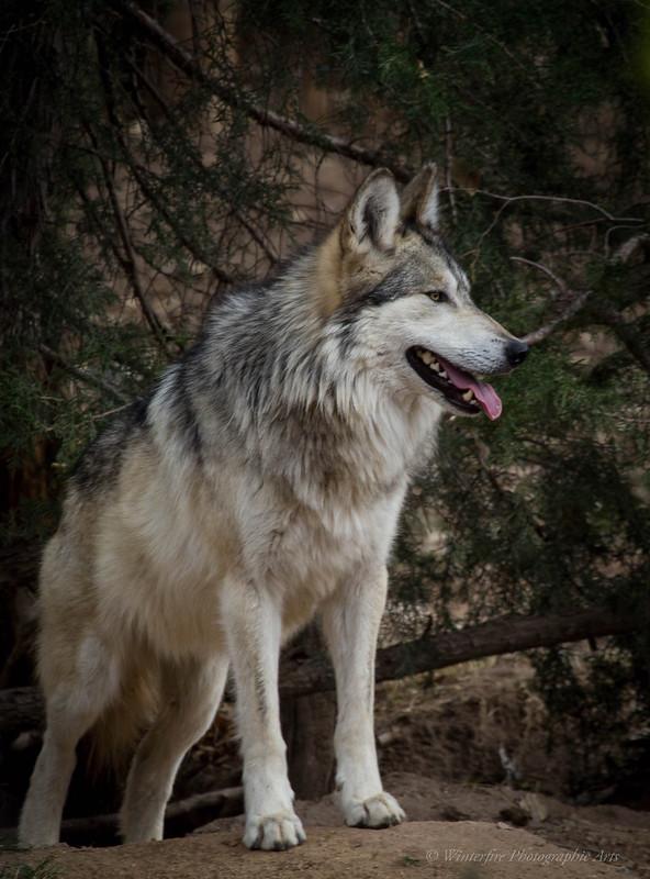 Canis Lupus Baileyi