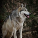 Canis Lupus Baileyi by NM Flower Girl