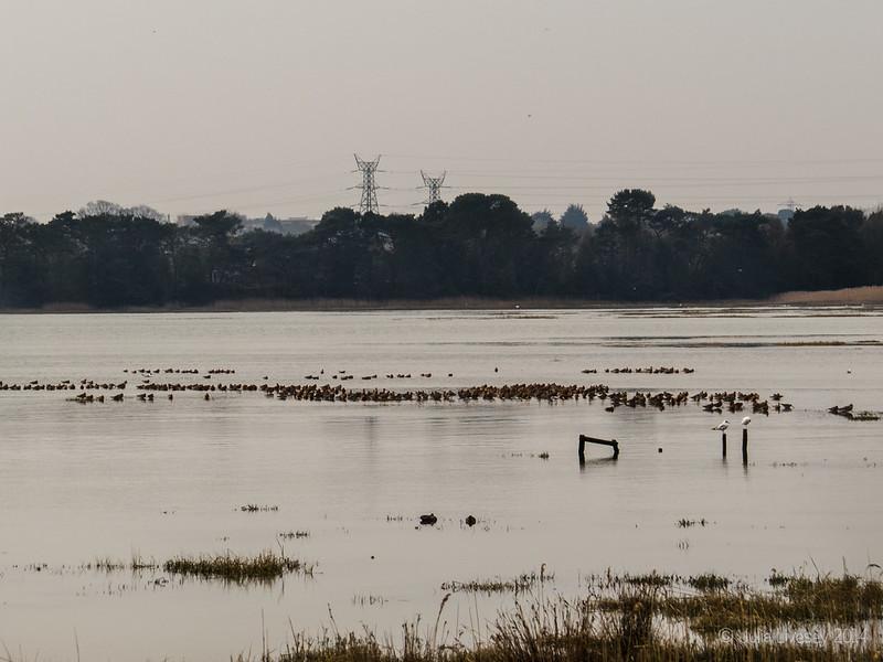 Large flock of godwits