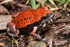 Red-backed broodfrog (Pseudophryne coriacea)