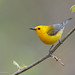 Prothonotary Warbler by Luis Villablanca