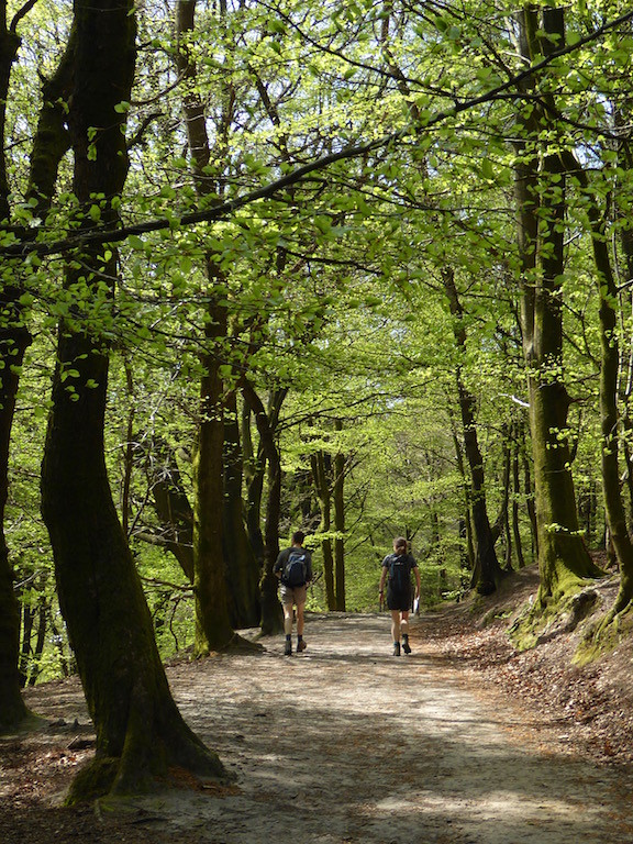 Beechwoods on Black Down Haslemere to Midhurst walk
