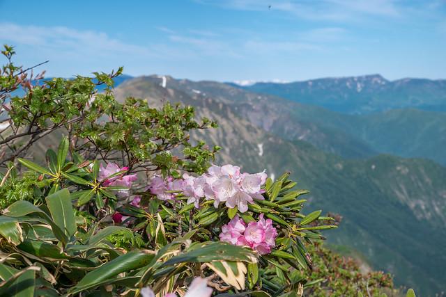 見頃を迎えたアズマシャクナゲ@谷川岳山頂稜線