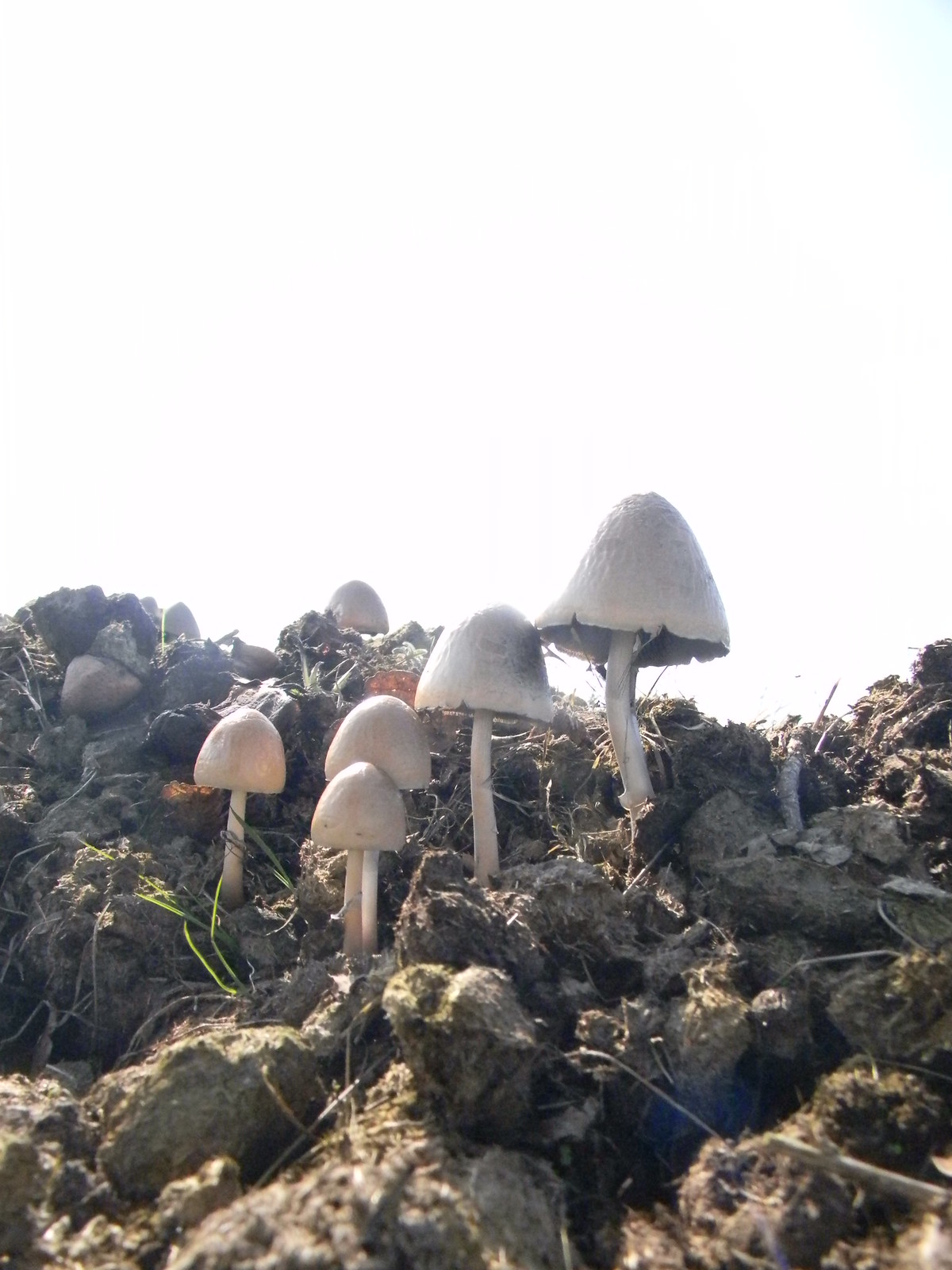 Mushrooms on a manure heap Great Chesterford to Newport