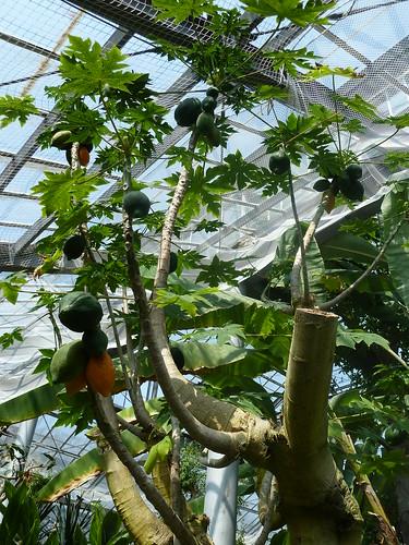 強羅公園 熱帯植物館 パパイヤ