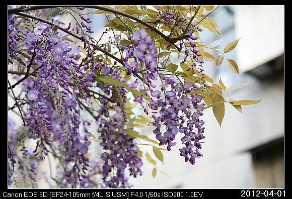 20120401P2紫藤