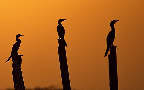 sunset bird silhouette geotagged twilight wildlife ngc dhaka bangladesh dhamrai ★excellent★ geo:lat=23911546521061794 geo:lon=9021677642593386