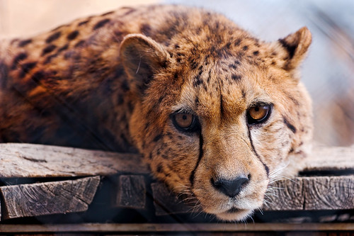 無料写真素材, 動物 , 哺乳類, チーター