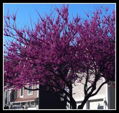 Red Bud tree