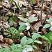 Small photo of Snow Trilliums (Trillium nivale)