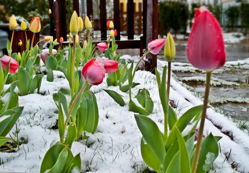 Nieve primavera