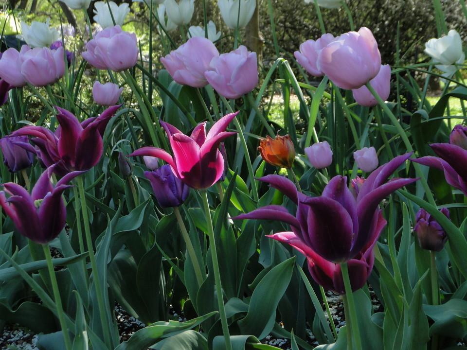 77-21apr12_3935_Botanical_garden_tulip