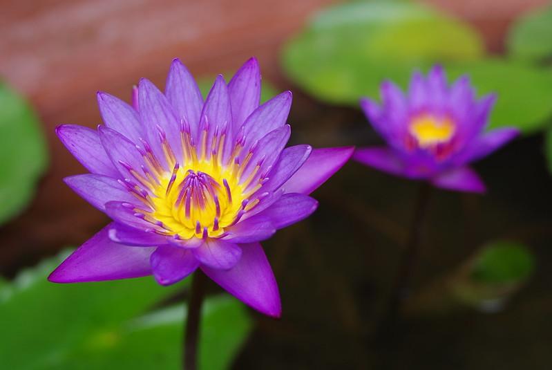 紫蓮花一張流(K-5)