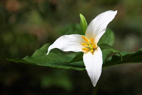 My first trillium of 2012